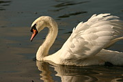 Crystal Magee - Beautiful Swan