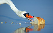 Flying Art - Beautiful swan eating bread by Michal Bednarek