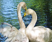Paulette Thomas Photography Prints - Beautiful Swans Print by Paulette  Thomas