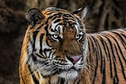 Tracie Kaska - Beautiful Tiger...