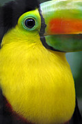 Eva Kaufman - Beautiful Toucan Bird