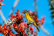 Photohraphy Prints - Beautiful Warbler Print by Robert Bales