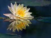 Florida Flower Posters - Beautiful Water Lily Reflection Poster by Sabrina L Ryan