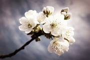Apple Photos - Beautiful white blossoms by Matthias Hauser