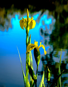 Rhizome Prints - Beautiful Wild Yellow Iris Print by Robert Bales