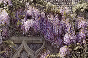 Fresh Green Posters - Beautiful Wisteria Poster by Svetlana Sewell