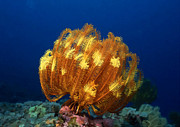 Sealive Prints - Beautiful yellow coral 1 Print by Lanjee Chee