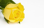 Stephen Cordory - Beautiful yellow rose