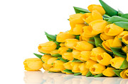 Online Flower Shop Posters - Beautiful Yellow Tulips valentine Poster by Boon Mee