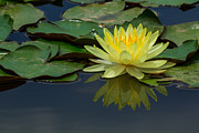 Waterlily Art - Beautiful yellow water lily by Tosporn Preede