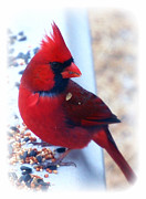 Male Northern Cardinal Photo Framed Prints - Beautiful Young Male Cardinal Framed Print by Peggy  Franz