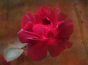 Rose Petals Prints - Beauty Among Thorns Print by Angie Vogel