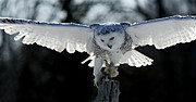 Shelley Myke Prints - Beauty in Motion- Snowy Owl Landing Print by Inspired Nature Photography By Shelley Myke