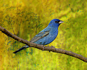 Layered Prints - Beauty In Nature - Indigo Bunting Print by J Larry Walker