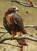 Beauty In Nature Red Tailed Hawk In The Spring  Print by Inspired Nature Photography By Shelley Myke