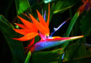 Yellow Bird Of Paradise Photos - Beauty in Paradise - Bird of Paradise by Susanne Van Hulst