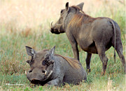 Judith Meintjes - BEAUTY IN THE WARTHOG...