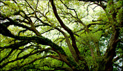 Oak Photos - Beauty In Time by Karen Wiles