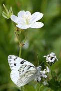 Beauty In White Print by Marty Fancy