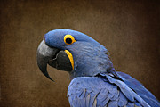 Hyacinth Macaw Framed Prints - Beauty is an Enchanted Soul - Hyacinth Macaw - Anodorhynchus hyacinthinus Framed Print by Sharon Mau