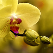 Spa Wall Decor Prints - Beauty of Orchids 2 Print by Julie Palencia