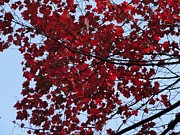 R J - Beauty of Red Maple...