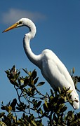 White Egret Posters - Beauty of Sanibel Poster by Karen Wiles