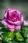 John Haldane - Beauty of the Pink Rose