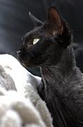 Beauty Of The Rex Cat Print by Joy Watson