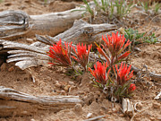 Indian Paintbrush Prints - Beauty on 25 Mesa  Print by Ernie Echols