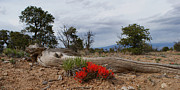 Indian Paintbrush Prints - Beauty on 25 Mesa Panoramic Print by Ernie Echols