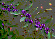 Beautyberry Print by Frank Tozier