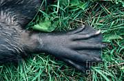 Stephen J Krasemann - Beaver Foot