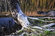 Dog With Stick Prints - Beaver Pond Reflection 2 Print by Aaron Spong