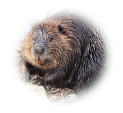 Paws Originals - Beaver by Todd Hostetter