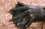 V B Scheffer - Beavers Hind Foot