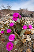 Canyon Photos - Beavertail Blooms by Peter Tellone