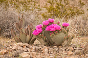 Southwest Landscape Metal Prints - Beavertail Cactus Metal Print by Rich Leighton