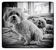 Dogs Digital Art Metal Prints - Bed Buddies Metal Print by Natasha Marco