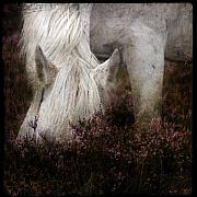Pony Framed Prints - Bed of Heather Framed Print by Angel  Tarantella