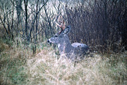Hunted Photos - Bedded Buck by Thomas R Fletcher