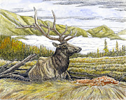 Elk Drawings - Bedded elk  by Kenneth or Susan Posselt