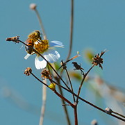 AnnaJo Vahle - Bee and a white flower