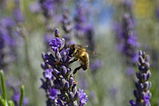 Australian Bees Framed Prints - Bee and Lavender Framed Print by Tristyn Lau