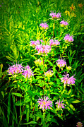 Bee Balm Of The Butterfly Gardens Of Wisconsin Print by Carol Toepke