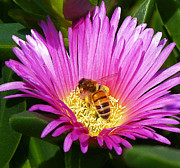 Australian Bee Posters - Bee Collecting Pollen On Pigface Flower Poster by Margaret Saheed