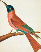 Bee Eater Print by Anonymous