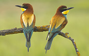 Wildlive Prints - Bee-eaters Couple Print by Guido Montanes Castillo