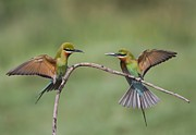 Manjunath Krishnamurthy - Bee Eaters Display