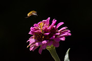 Bee In Flight Prints - Bee Fly in Flight Print by Shelly Gunderson